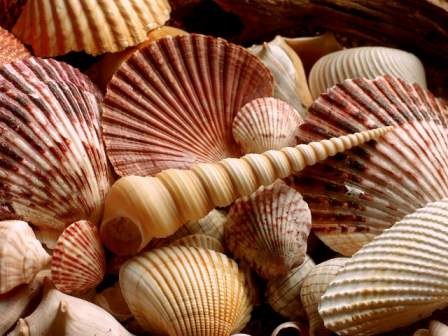 Seashell Free Beautiful Wallpaper for Vista Starter