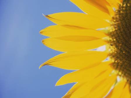 Sunflower Wallpaper from Vista Starter